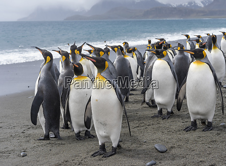 king, penguin, (aptenodytes, patagonicus), on, the - 27327096