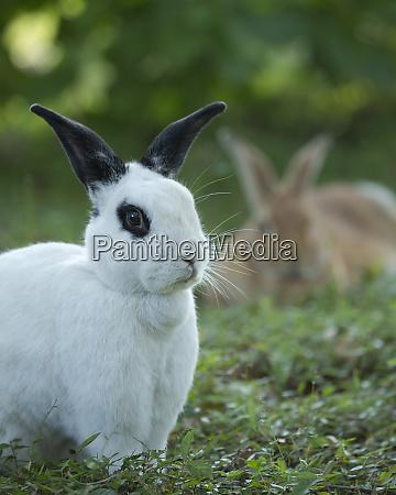 conejo rex blanco y negro con