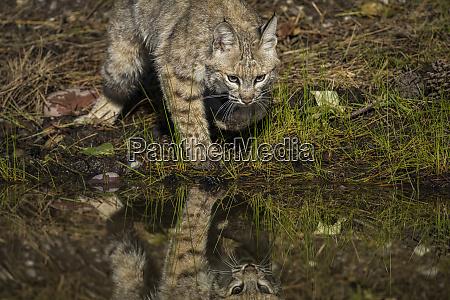 bobcat, reflection - 27342744