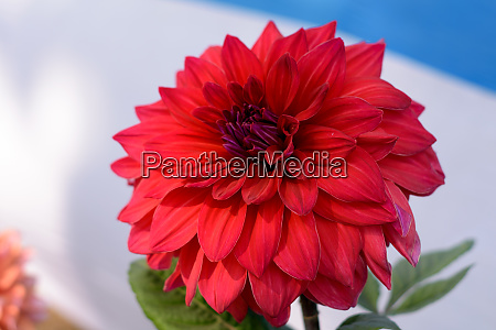 multi layer petal red aster
