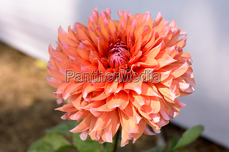 multi layer petals orange aster aster
