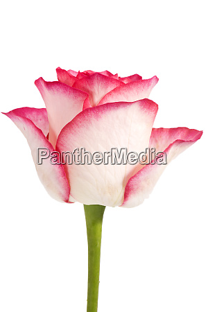 single flower of rose isolated on