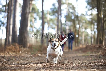 perro, feliz, y, despreocupado, corriendo, en - 27457316