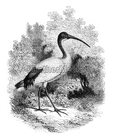 museum, of, natural, history, , ibis, alive, - 27476079