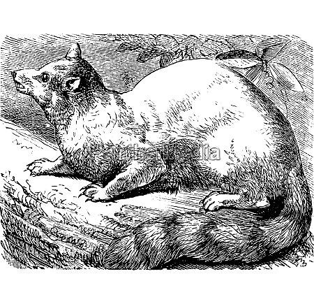 ringtail o ring tailed cat o