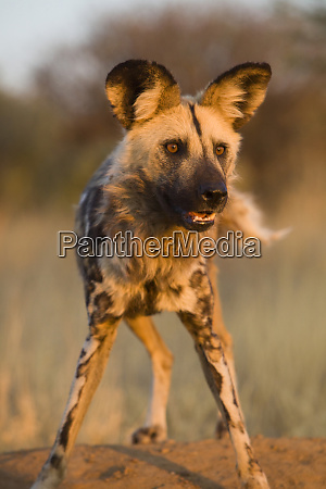 africa namibia wild dog close up