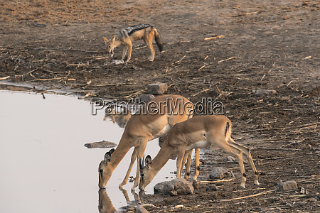 two common impala aepyceros melampus drink