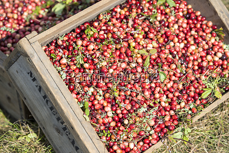 usa massachusetts wareham cranberries large format