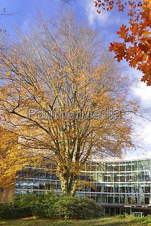 usa oregon portland european beech tree