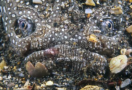 southern stargazer astroscopus y graecum caribe