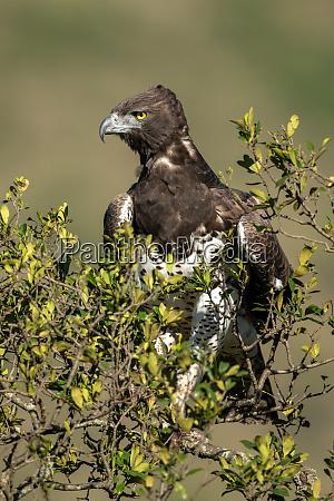 Aguila marcial mirando hacia abajo desde