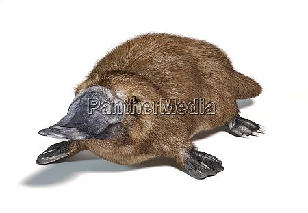 animal con pico de pato platypus
