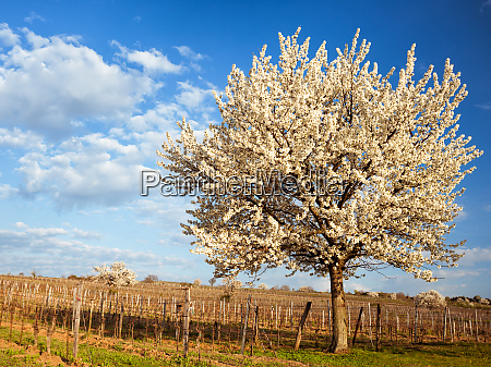 blooming cherry tree in a vineyard