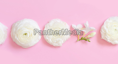 cream ranunculus flowers on a light
