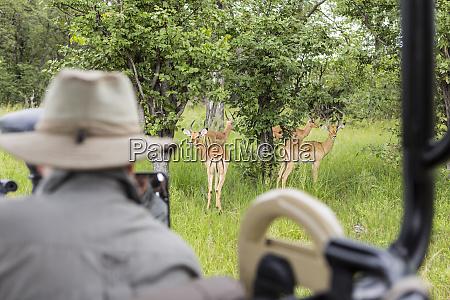 un guia de safari mirando impala
