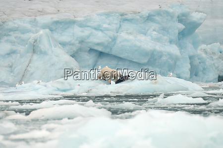 oso polar en hielo marino cazando