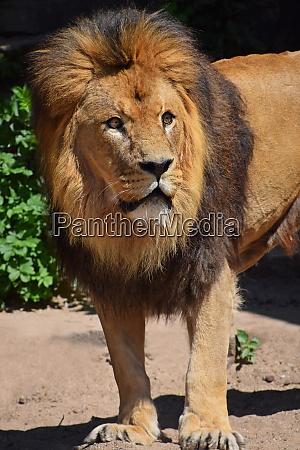 retrato de cerca del leon mirando