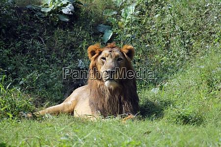 leon panthera leo