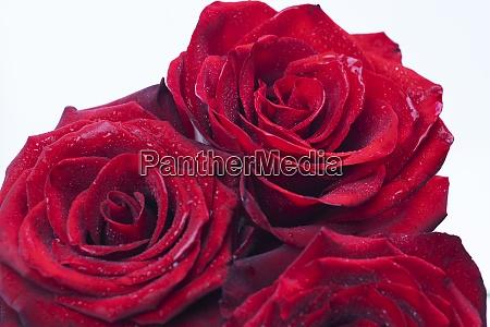 ramo de rosas frescas fondo floral