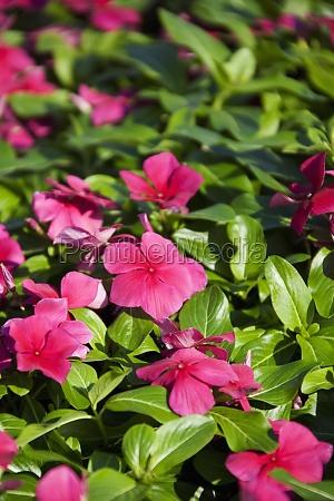 closeup de flores rosa de impatiens