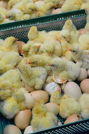 polluelos recien nacidos halifax
