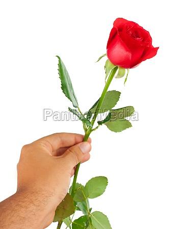 rosa roja en una mano masculina