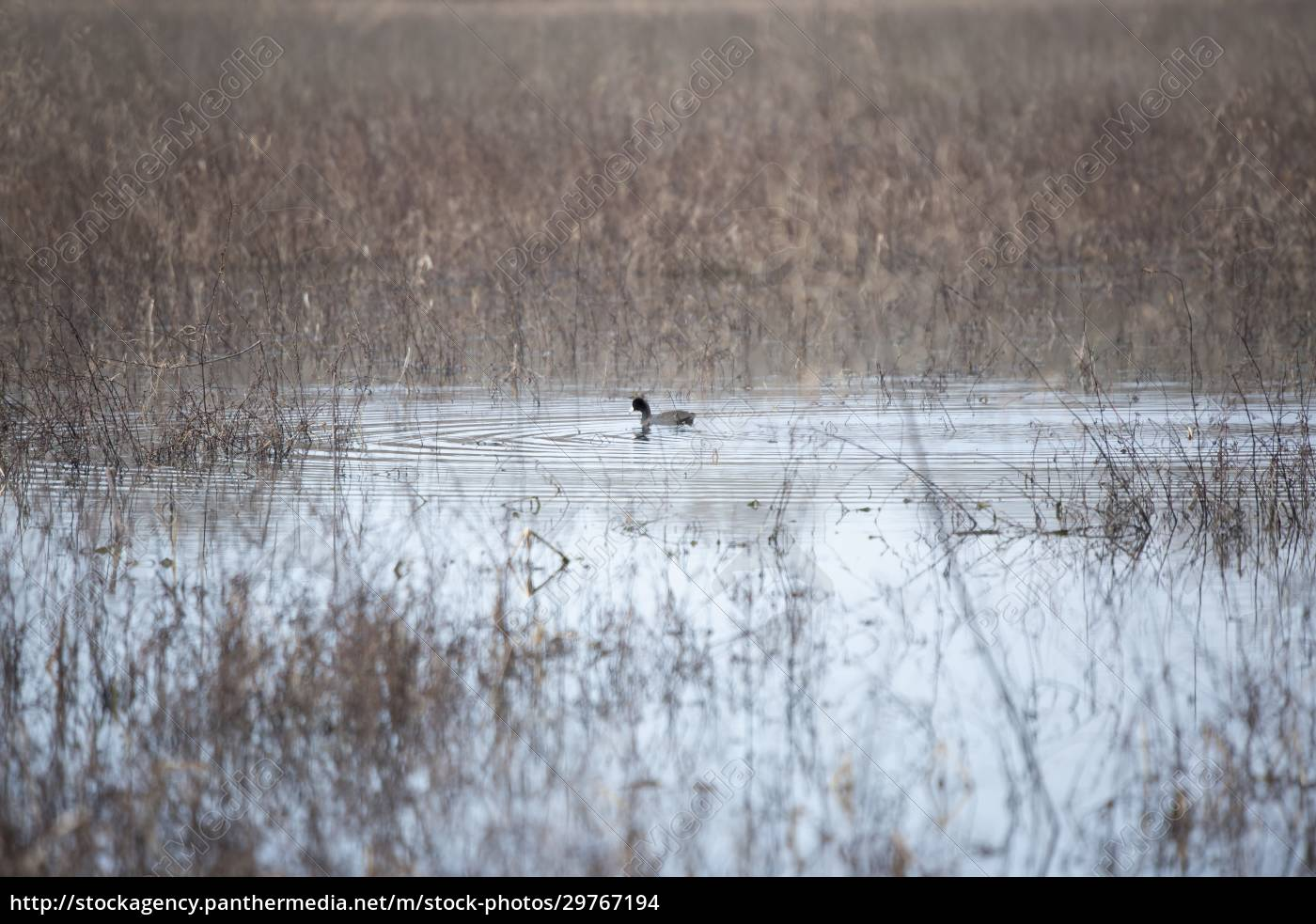 coot, duck, swimming - 29767194