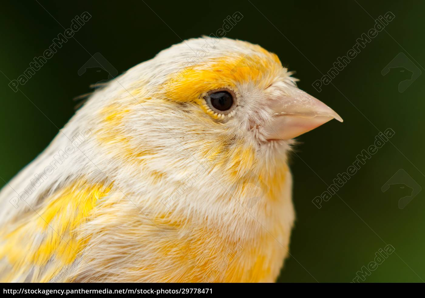 beautiful, yellow, canary - 29778471