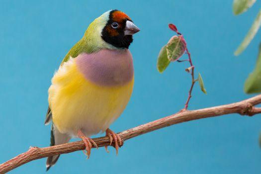 gouldian, lady gould, bird, wildlife, nature, natural - D23772316