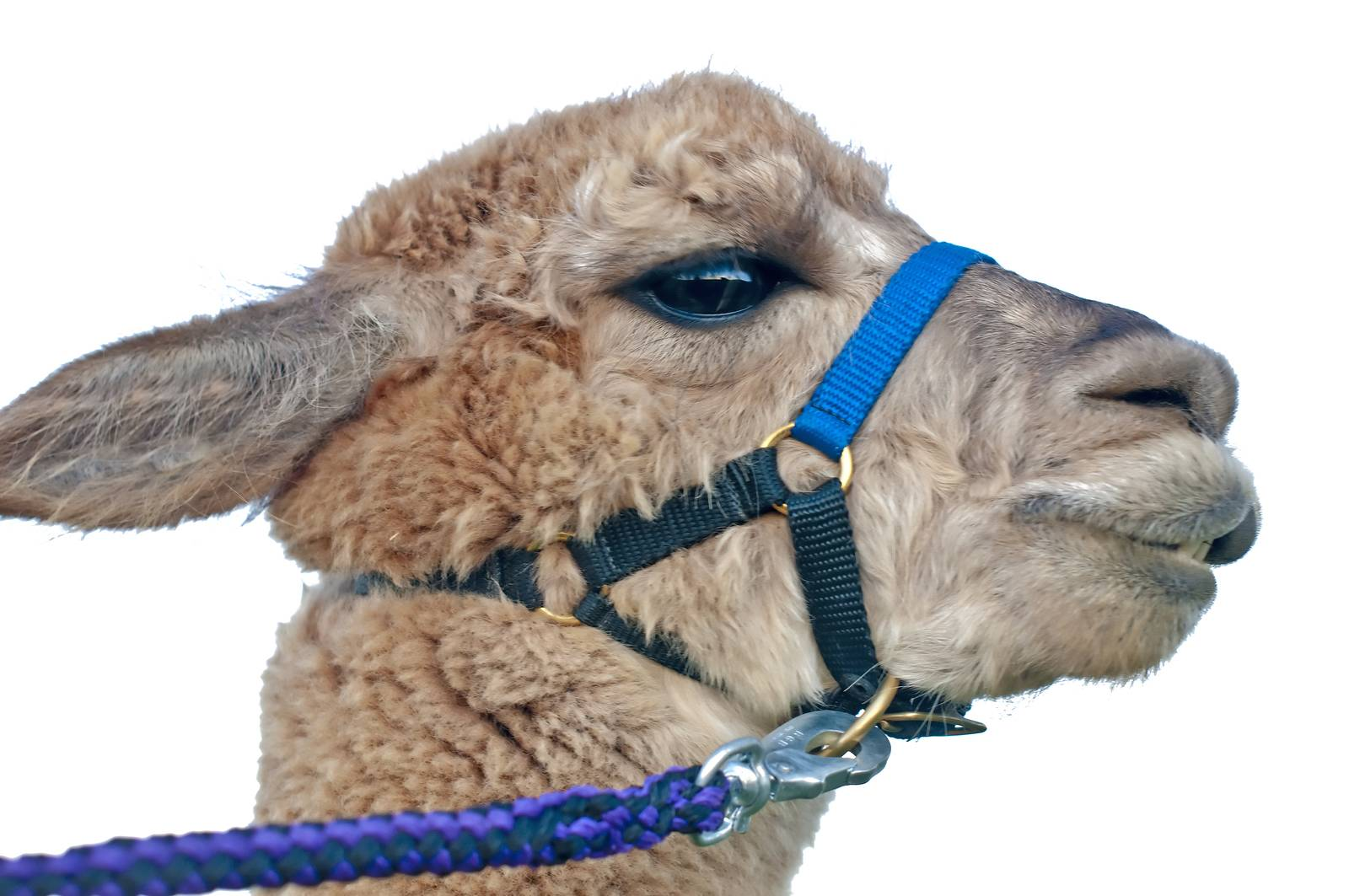 AAT, assisted animal therapy, adorable, alpaca, America, Andes - D34298272
